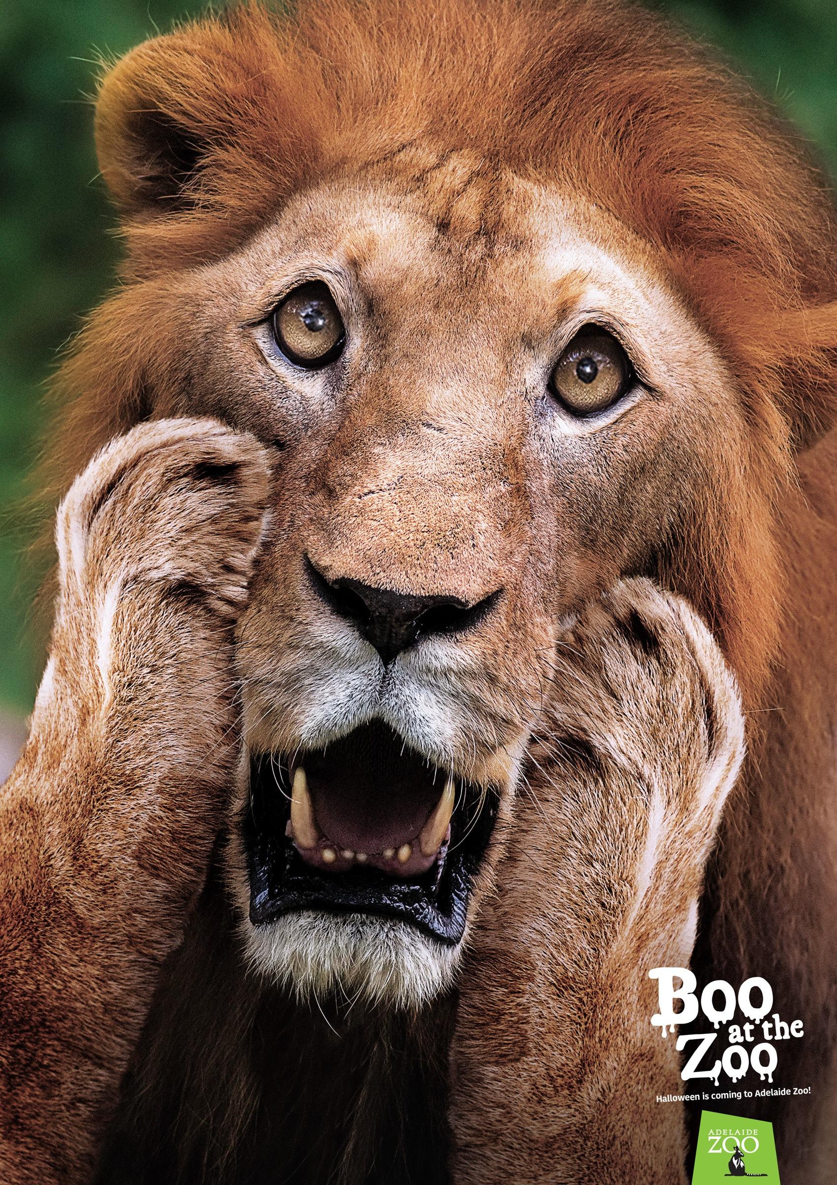 アデレード動物園:ADELAIDE ZOO:ライオン