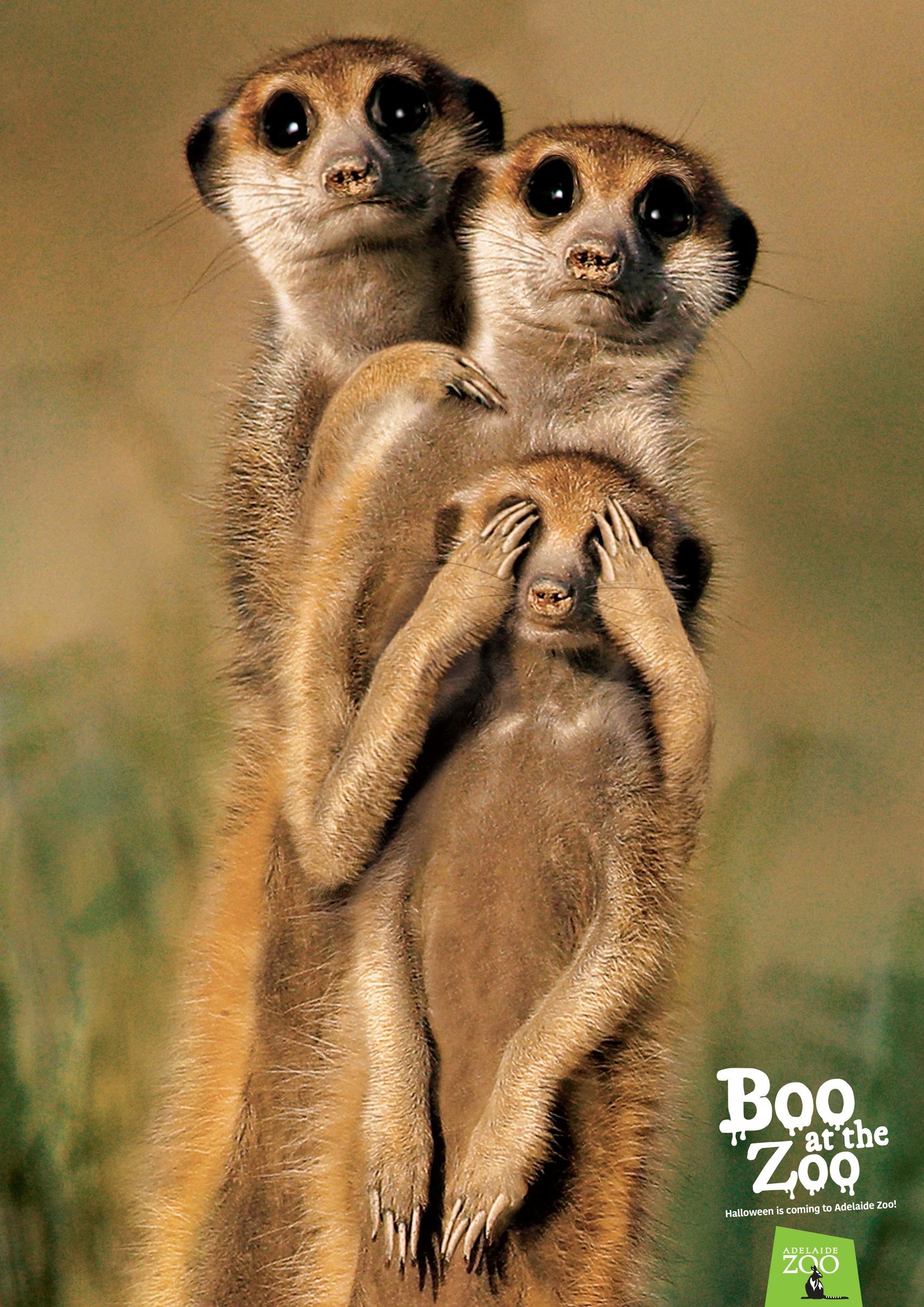 アデレード動物園:ADELAIDE ZOO:ミーアキャット